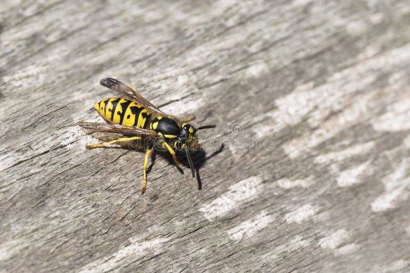 Wasp eller gyellowomslag på ridit ut wood sökande efter material fo arkivfoto