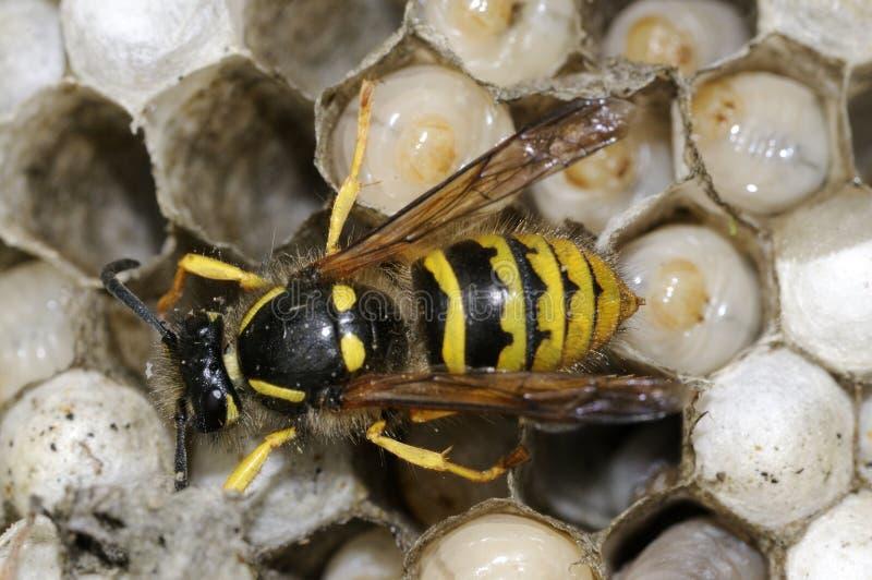 wasp för 2 vespula royaltyfri bild