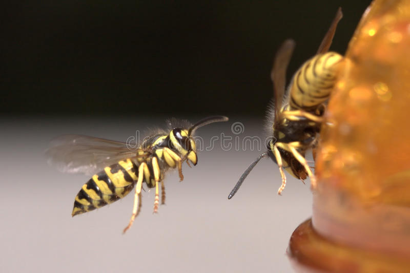 Download Wasp in flight stock image. Image of jacket, wasp, flying - 13310065