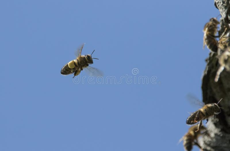 Wasp in flight, flying royalty free stock image