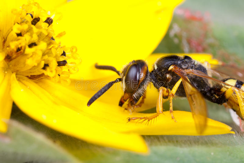 Download Wasp On Flower Royalty Free Stock Photography - Image: 19254987