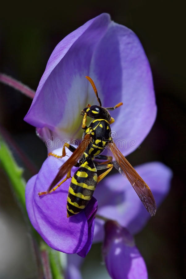 Wasp on flower royalty free stock photos