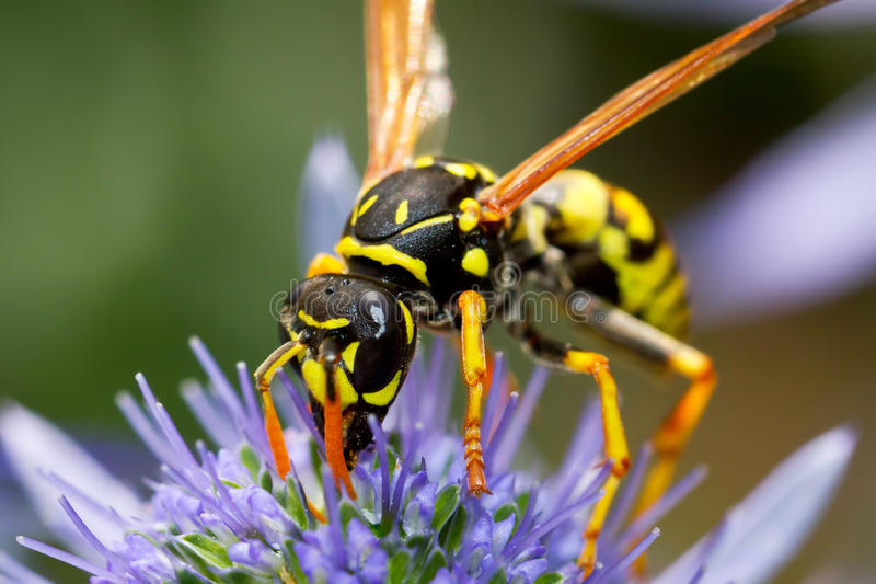 Wasp on the flower stock photo