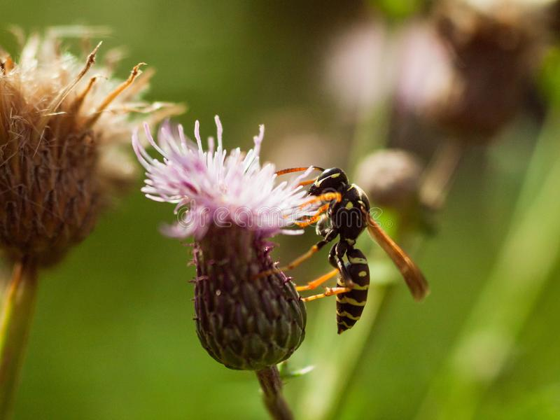 Wasp on a flower collecting nectar. Macro photo stock photos