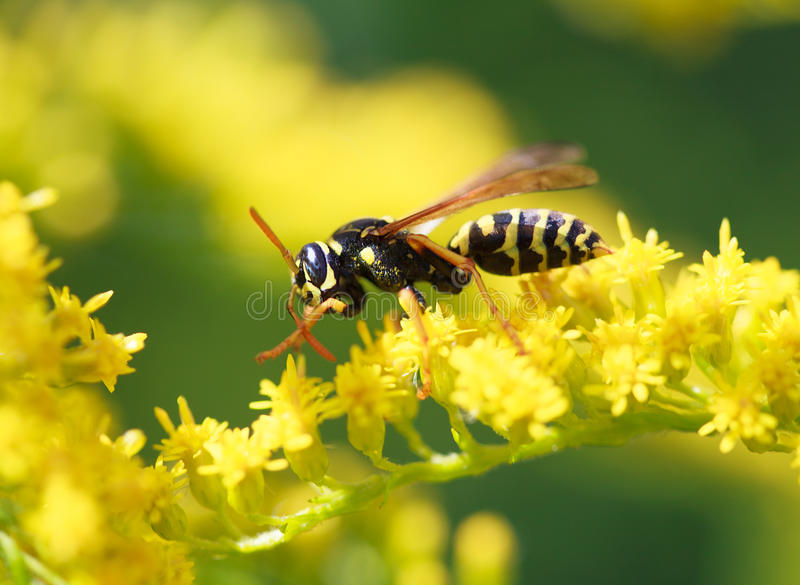Wasp of the garden on a yellow flower. Wasp of the garden on a yellow wild flower, macro, selective focus royalty free stock photos