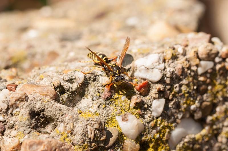Wasp on the green leaf in nature.Insect stock photos