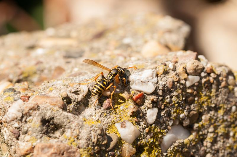Wasp on the green leaf in nature.Insect royalty free stock photos