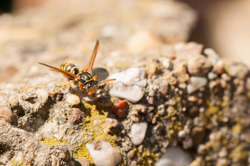 Wasp on the green leaf in nature.Insect royalty free stock images