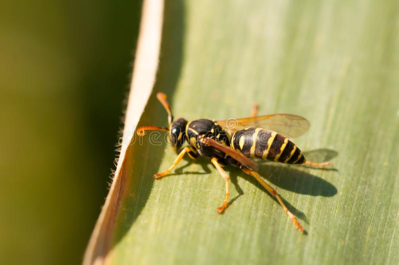 Wasp on the green leaf in nature.Insect stock images