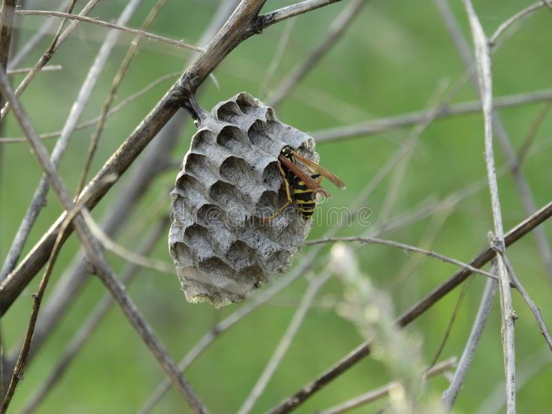 Wasp i bikupan royaltyfri foto