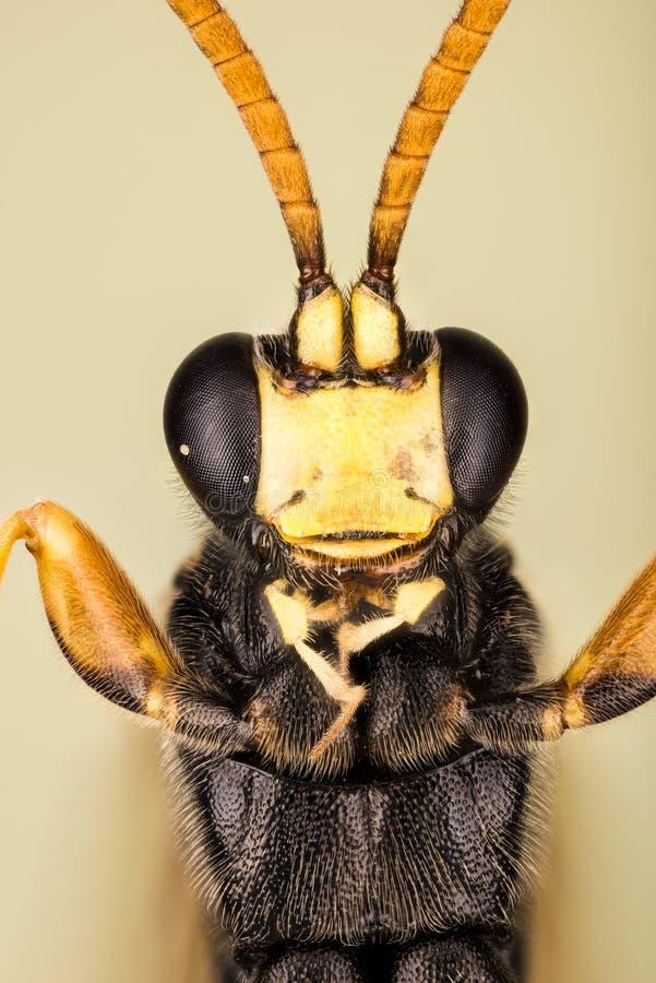 WASP - Ichneumonstramentor arkivbilder