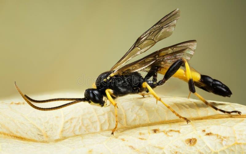 WASP - Ichneumonstramentor royaltyfri foto
