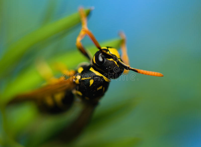 Wasp insect stock image
