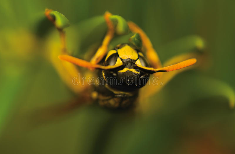 Wasp insect royalty free stock photos