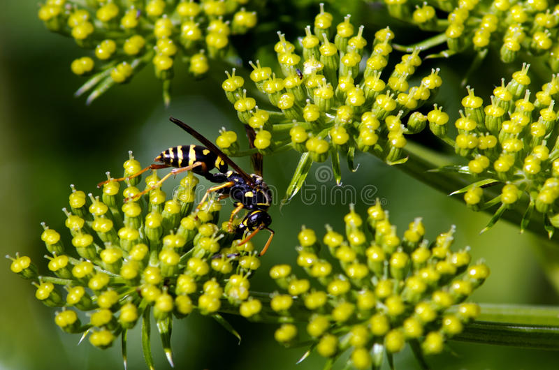 Wasp insect royalty free stock images