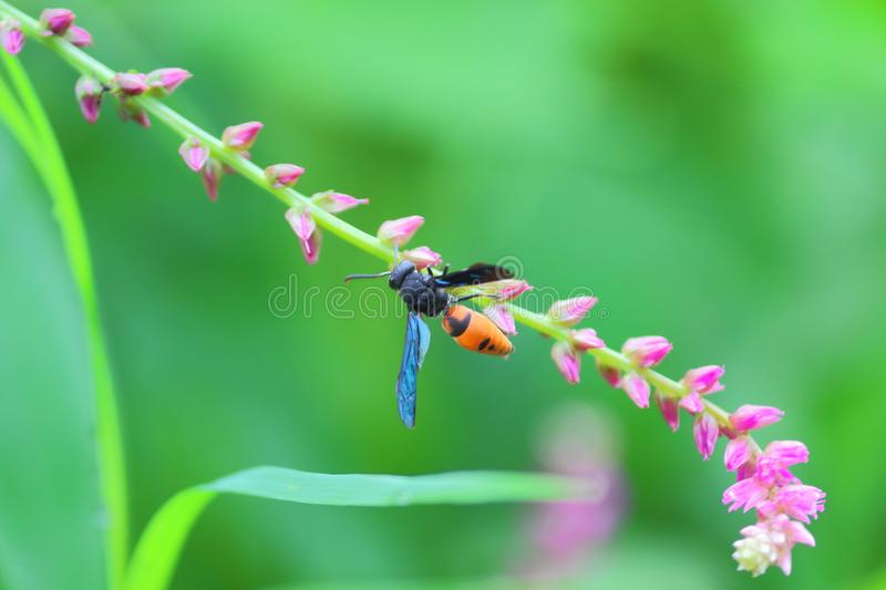 Wasp insect on flower. Insect are sucking juices of red wild flower. beautiful natural green background. natural view stock image