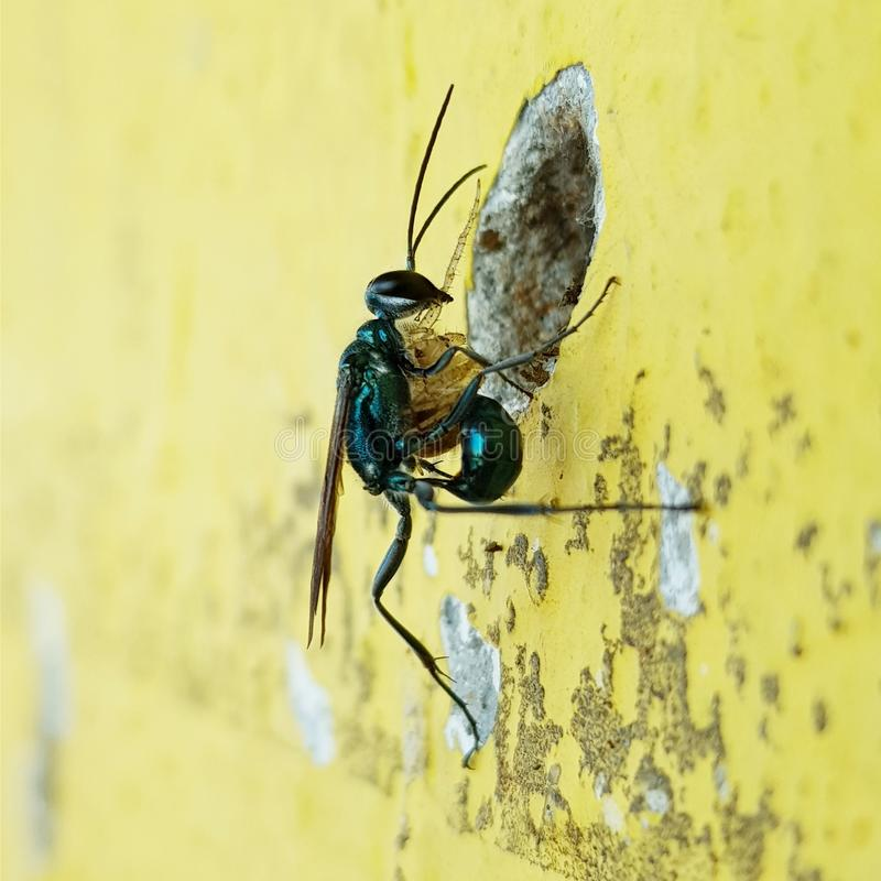 Wasp. Insect natural click building nest royalty free stock image