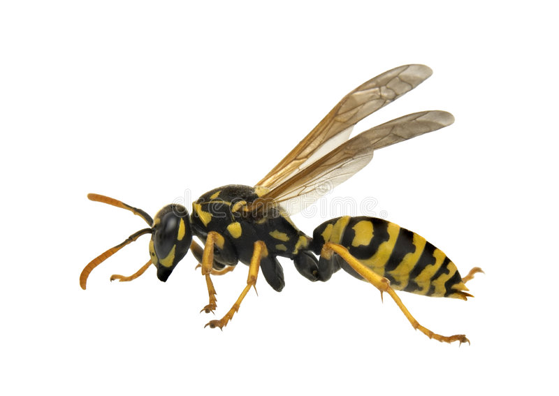 Wasp -isolated stock photos