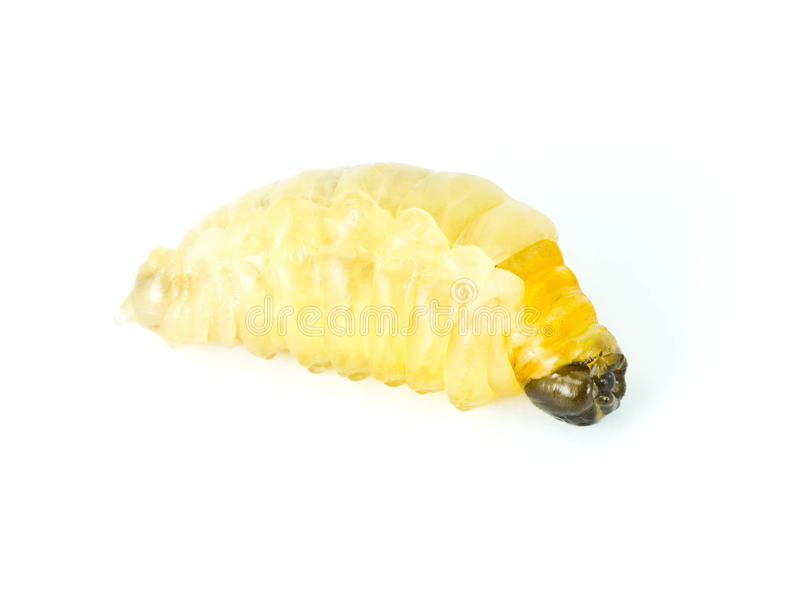 Download Wasp larvae. stock photo. Image of comb, insects, honeycomb - 25390542