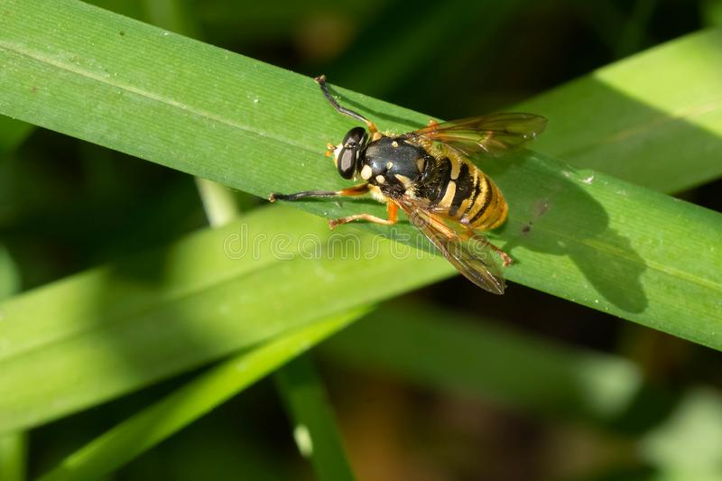 Wasp-like Falsehorn Hover Fly - Temnostoma alternans. A Wasp-like Falsehorn Hover Fly is resting on a thick blade of grass. Taylor Creek Park, Toronto, Ontario stock photos
