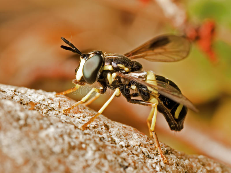 Download Wasp-like Hoverfly stock photo. Image of wasp, wings - 15789860