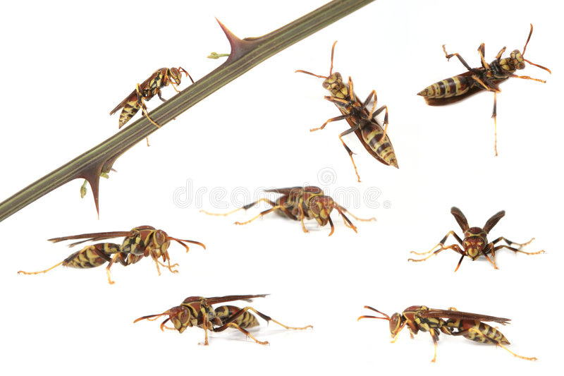 Wasp In Many Positions. Multiple Images of a Wasp in Various Positions on White Background stock photo