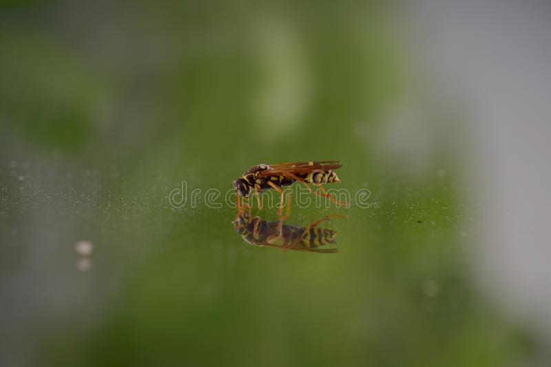 A wasp flying into the room stock images