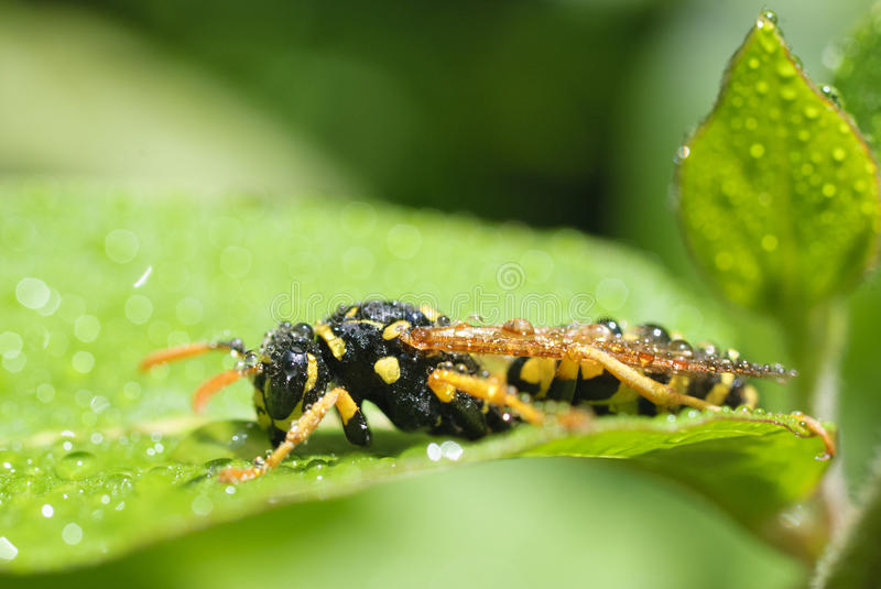 Wasp in the morning dew royalty free stock photos