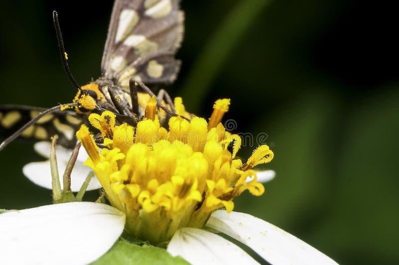 Wasp moth sucking nectar. On flower stock photo