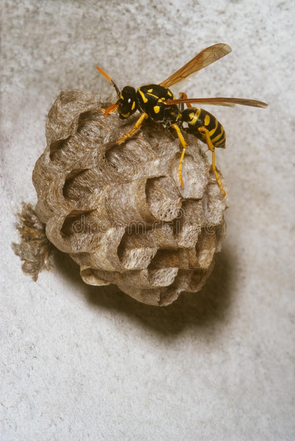 Wasp On The Nest Stock Photos