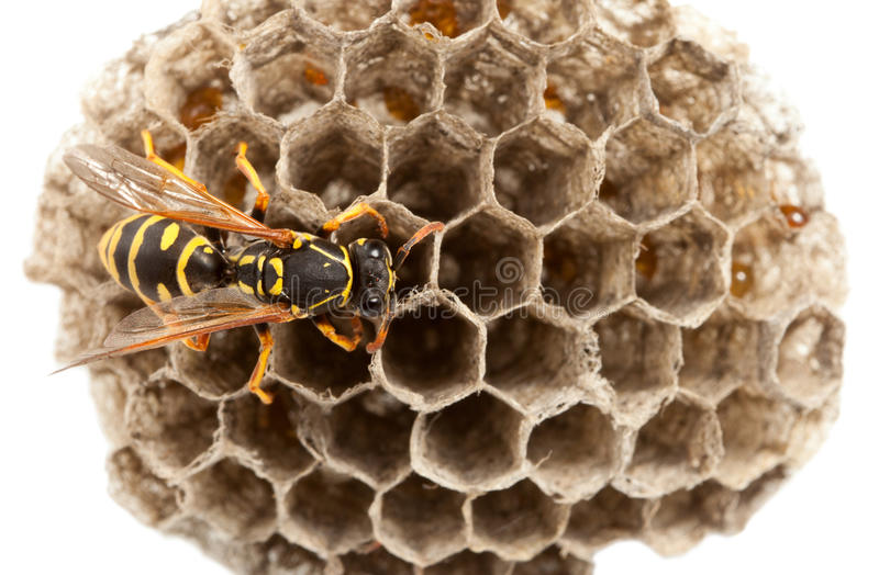 Download Wasp on nest stock image. Image of object, compound, cell - 19688099