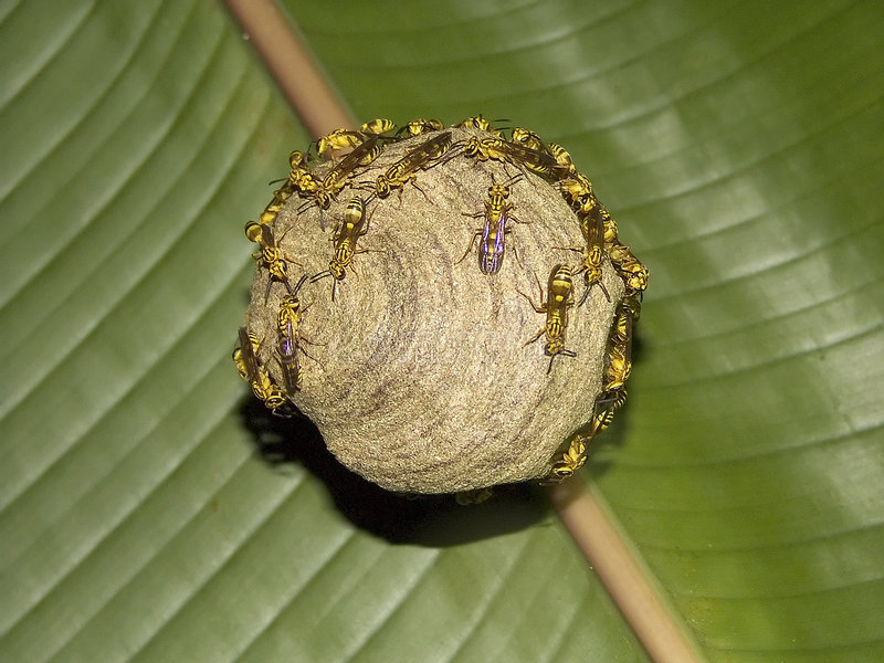 Download Wasp nest stock image. Image of rica, home, insect, hive - 197969