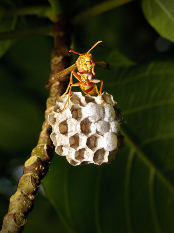 Wasp in the nest. A portrait of a little wasp on a tree, just outside the nest royalty free stock photos