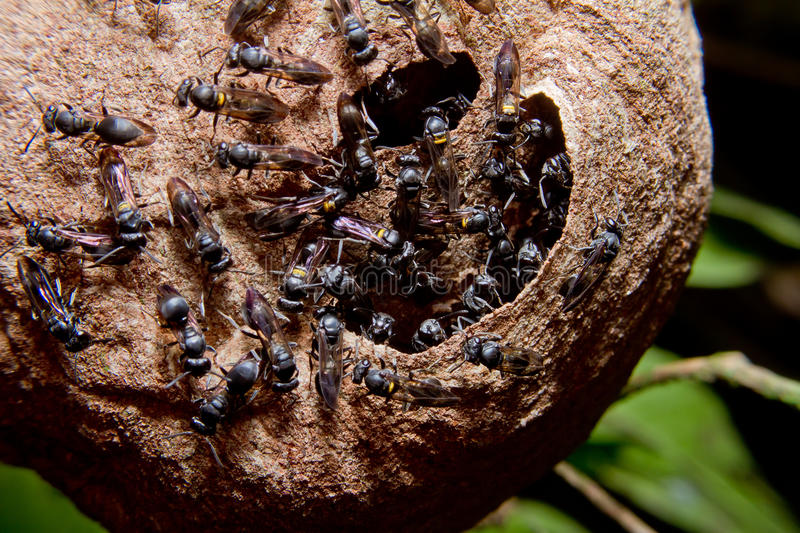 Wasp nest colony. On a tree in the rainforest royalty free stock photography