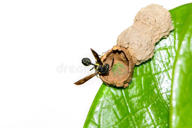 Wasp nest on a green leaf. BackgWasp nest on a green leaf. Behind the white. animal, Insect royalty free stock image