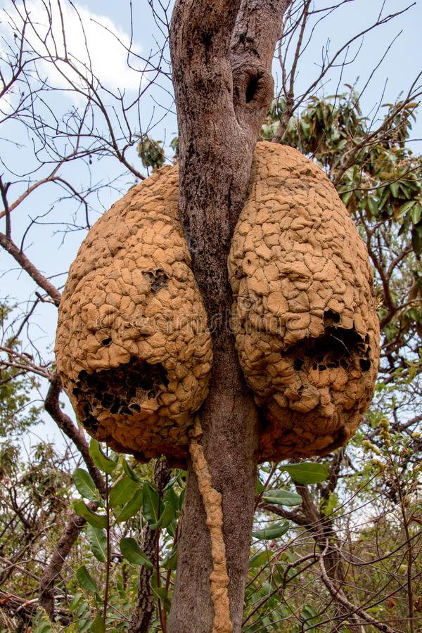 Wasp Nest that are Found in Brazil. Wasp Nest Stuck on a tree that are found in the Savannas of Brazil royalty free stock image
