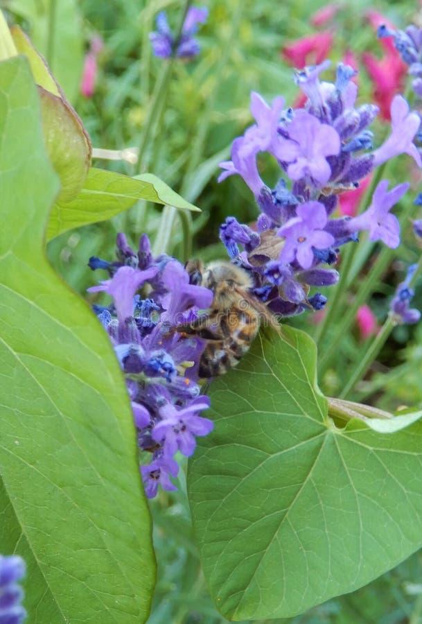 Wasp och lavendel arkivfoton