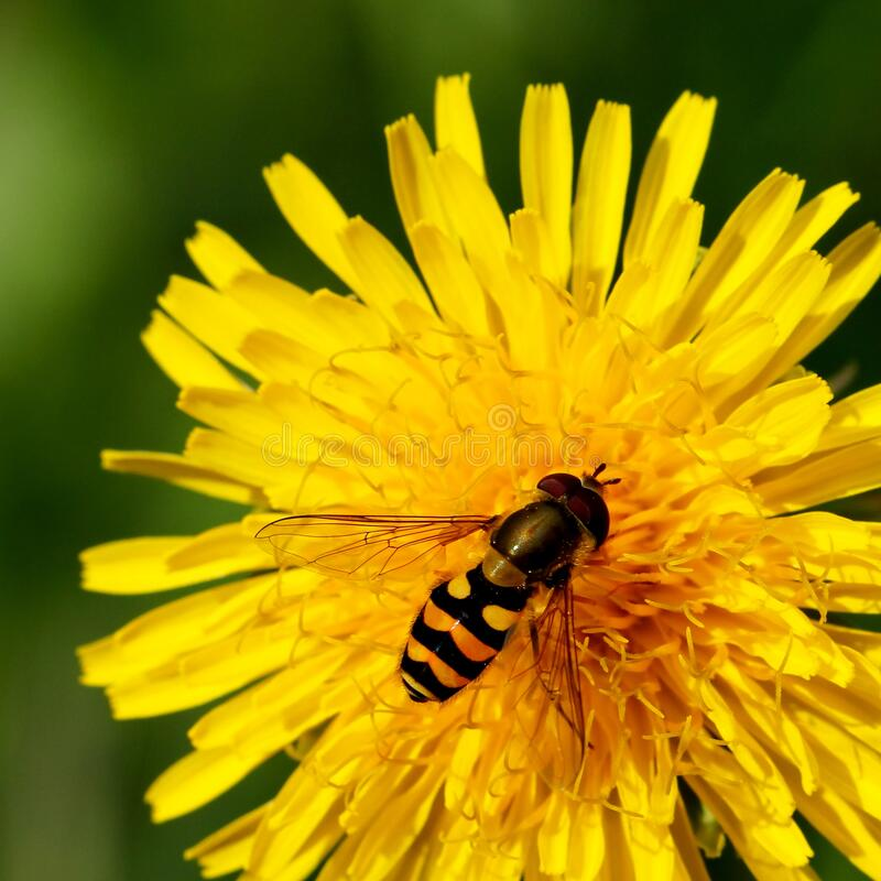 Free Wasp On Yellow Flower Stock Image - 195220931