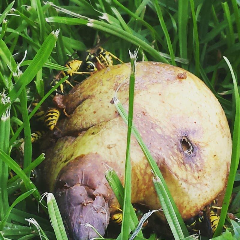 Wasp päron arkivfoton