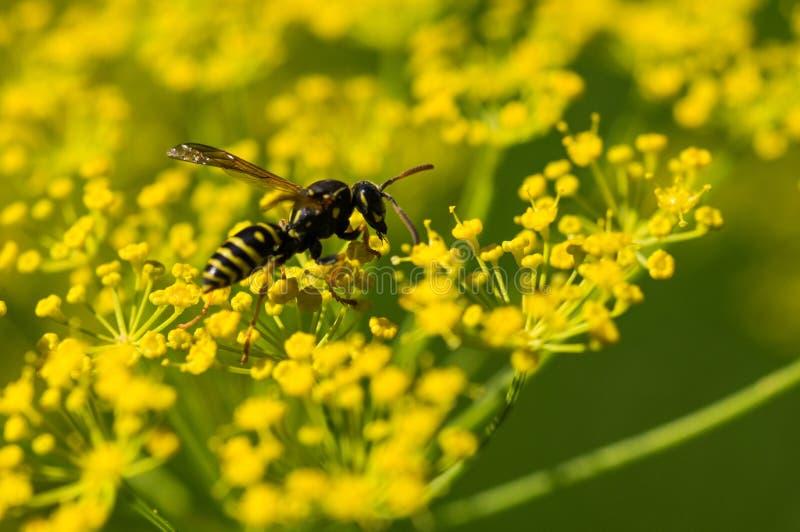 Wasp på gula blommor royaltyfri fotografi