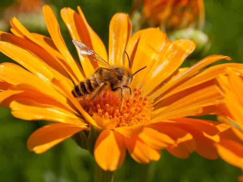 Wasp på orange floer arkivfoto