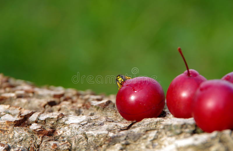 Wasp on a plum. Wasp eats plums in the garden stock image