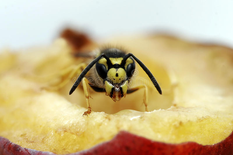 Wasp on plum royalty free stock image
