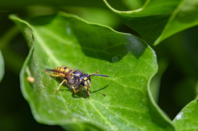 A wasp Polistes dominula sitting on a leaf and cleaning its antennae. Macro shot of a wasp Polistes dominula sitting on a leaf and cleaning its antennae royalty free stock photos