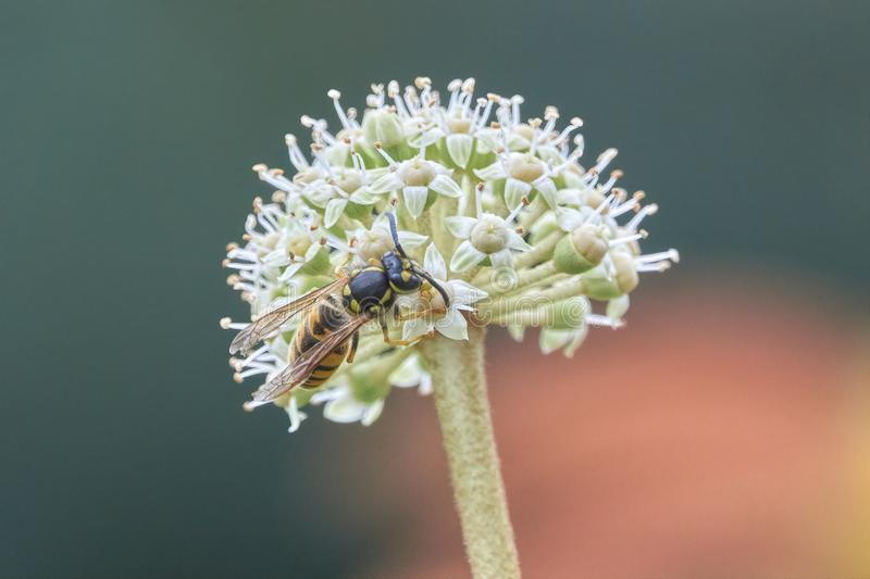 Wasp potter on plant. Wasp potter flying on plant stock photo