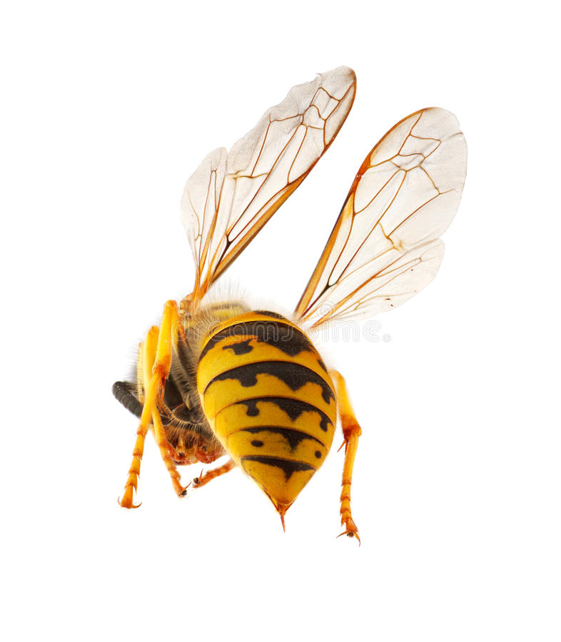 Wasp presenting it's threatening stinger royalty free stock photography