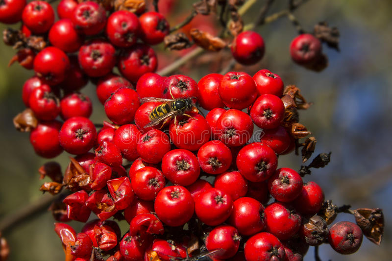 Download Wasp on Red Berries stock photo. Image of england, germanica - 35156646