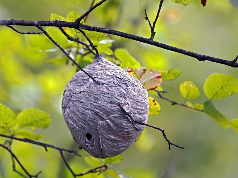 Wasp rede i träd arkivbild