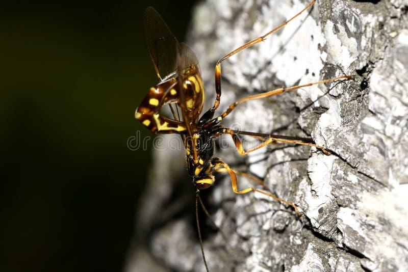 Wasp ryttare-rissa på stammen arkivbilder