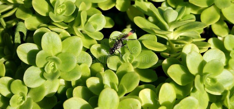 Wasp on sedum stock images